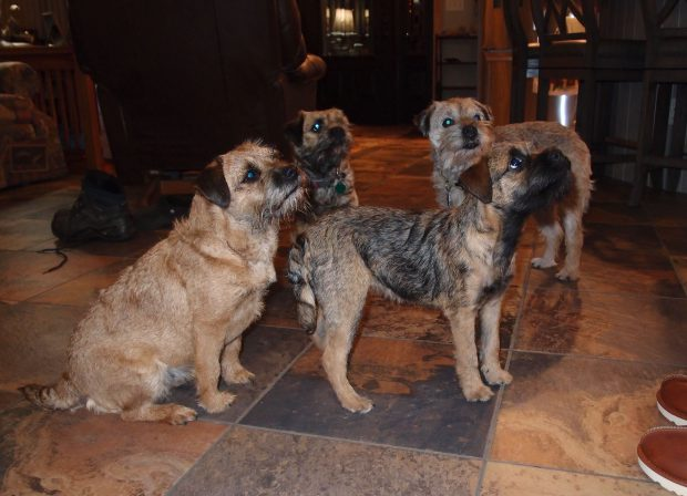 Border Terriers | Rushwind Labradors and Border Terriers