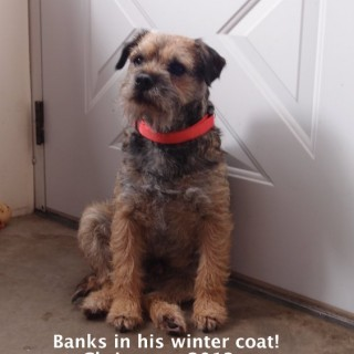 Male Border Terrier