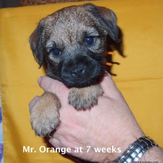 Shea's Mr. Orange at 7 weeks