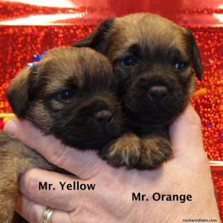 Border Terrier pups