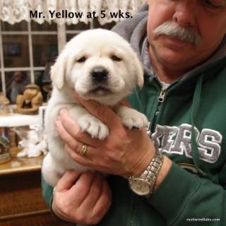 Rushwind Lab Pup