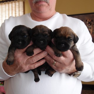 Shea and Banks Pups at 2.5 weeks old.  Boys on the outside and Girl in Middle.