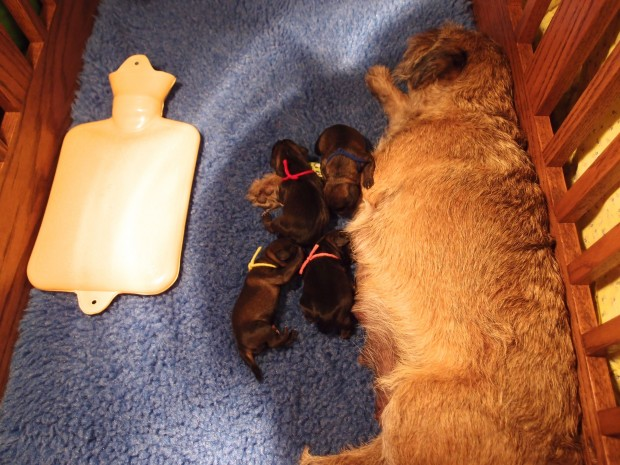 INDY PUPS BORN TODAY SEPT.16,15