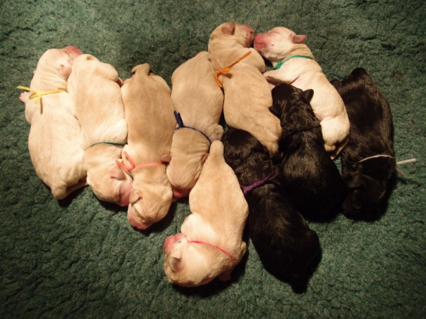Girls, girls, girls! Navy and Benelli produced a lovely litter of 10. Birth Photo 11/21/2015