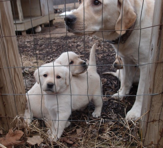 Mama Lilly with babies. 2 Male Pups left.  Call today!