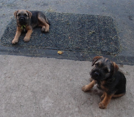 Hangin' Out after breakfast. Thomas and Gracie. At 9 weeks