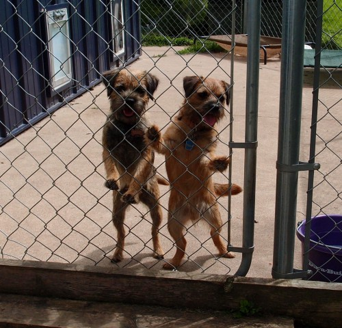 Here are Trixie and Mimi watching the puppies leave Rushwind.  The girls will be 2 years old in Dec. 2016